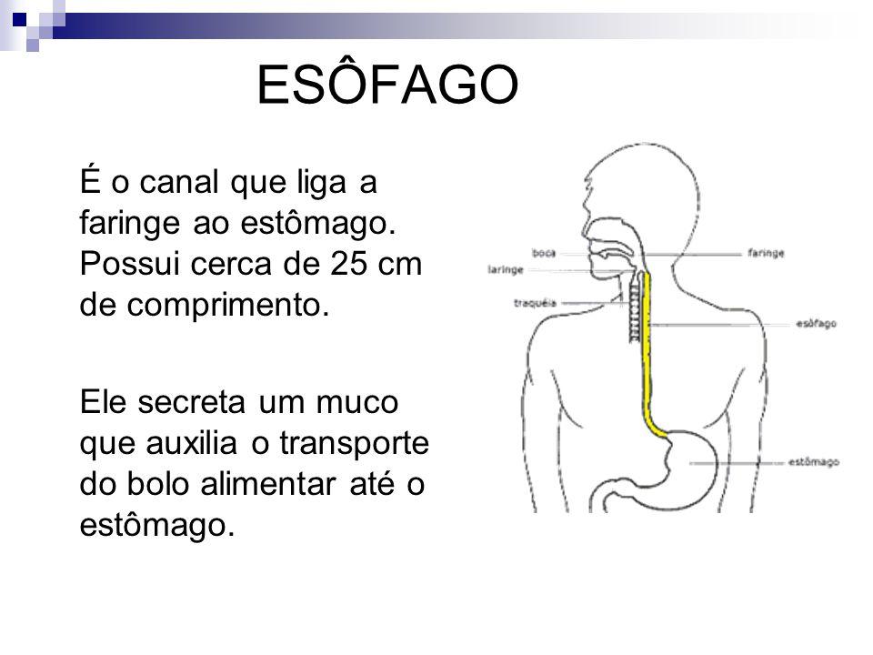 ESÔFAGO É o canal que liga a faringe ao estômago. Possui cerca de 25 cm de comprimento.
