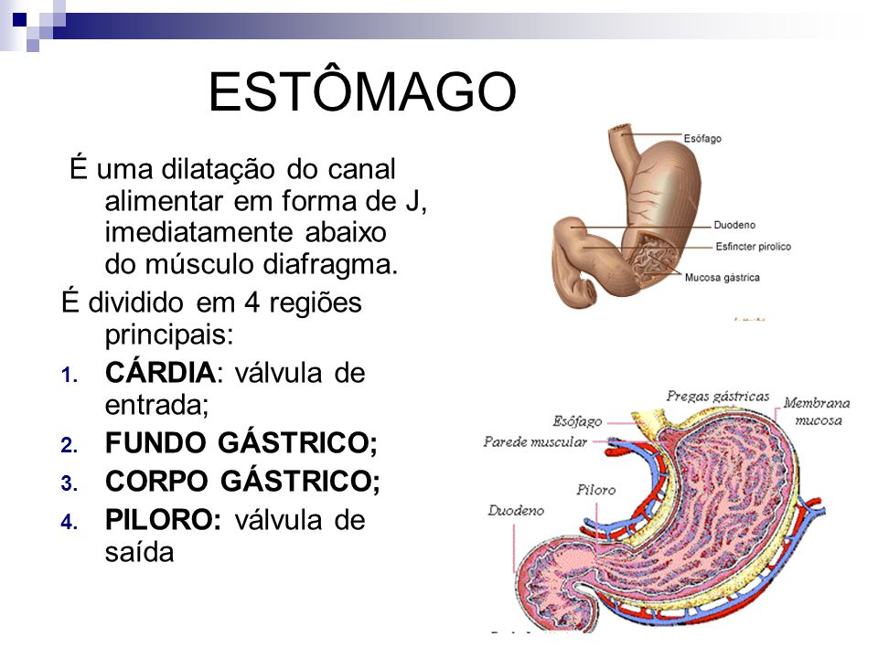 ESTÔMAGO É uma dilatação do canal alimentar em forma de J, imediatamente abaixo do músculo diafragma.