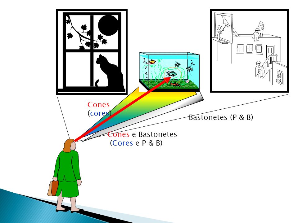 Cones (cores) Bastonetes (P & B) Cones e Bastonetes (Cores e P & B)