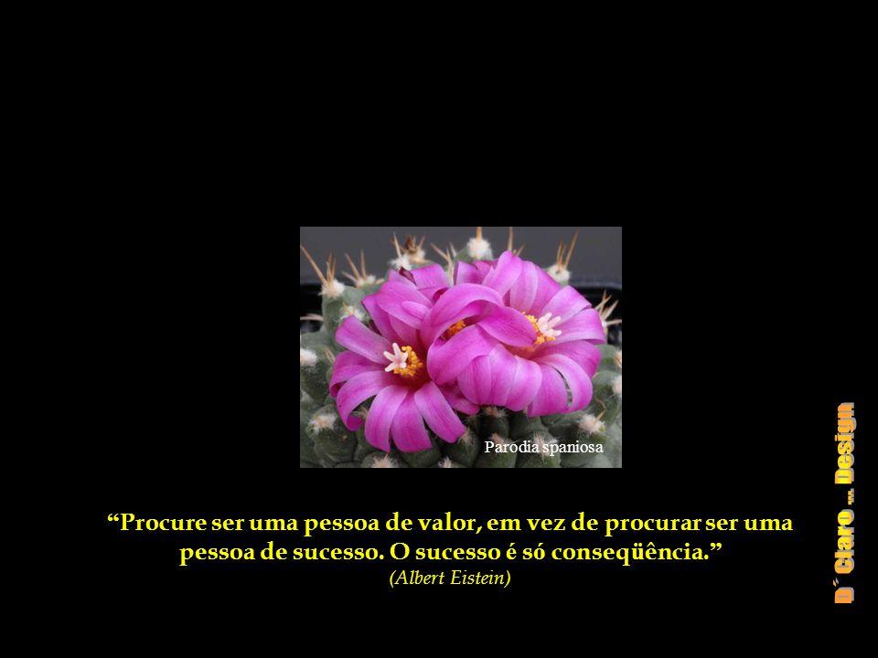Parodia spaniosa Procure ser uma pessoa de valor, em vez de procurar ser uma pessoa de sucesso. O sucesso é só conseqüência.