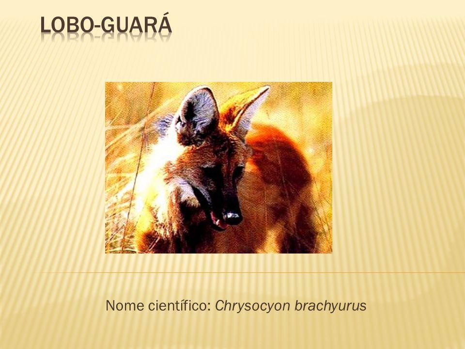 Nome científico: Chrysocyon brachyurus