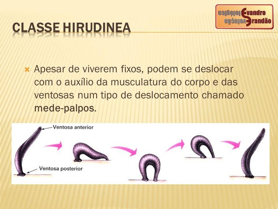 CLASSE HIRUDINEA