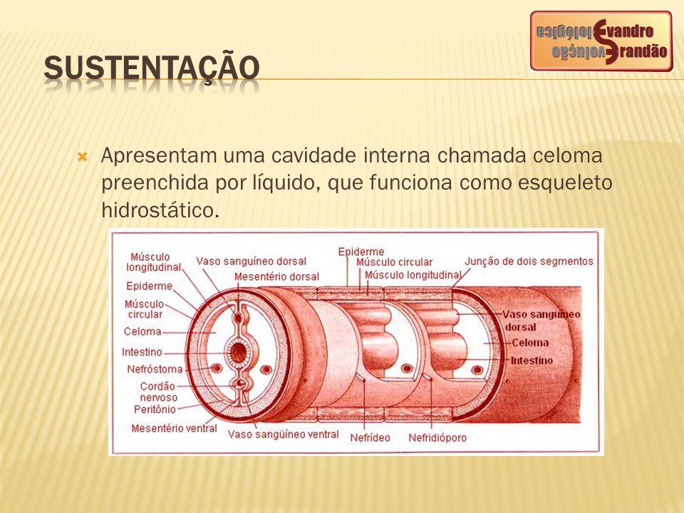 SUSTENTAÇÃO Apresentam uma cavidade interna chamada celoma preenchida por líquido, que funciona como esqueleto hidrostático.