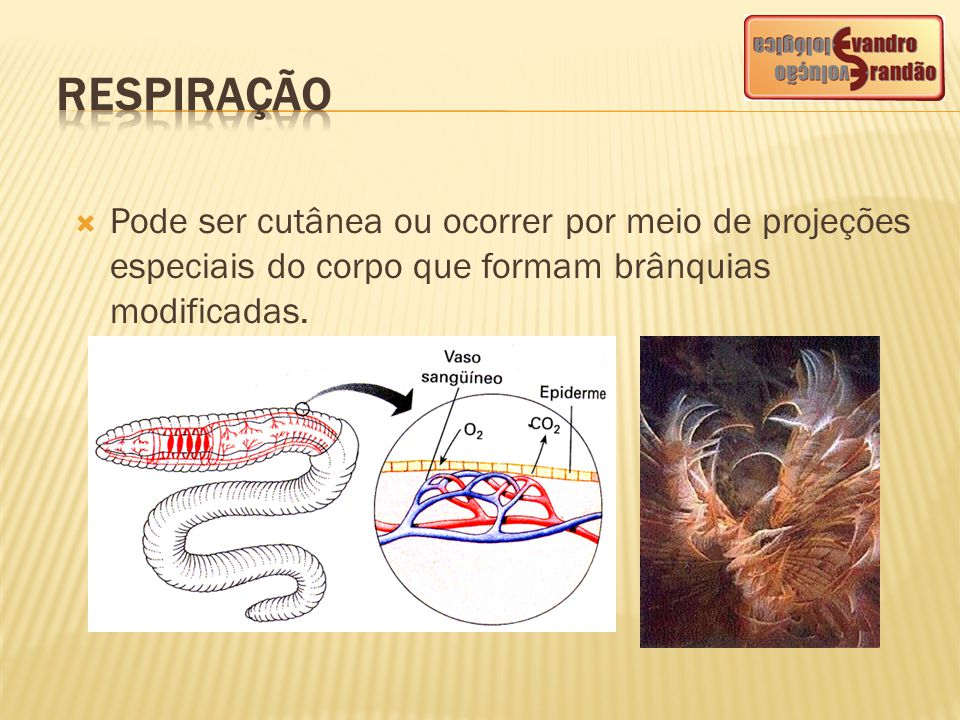 RESPIRAÇÃO Pode ser cutânea ou ocorrer por meio de projeções especiais do corpo que formam brânquias modificadas.