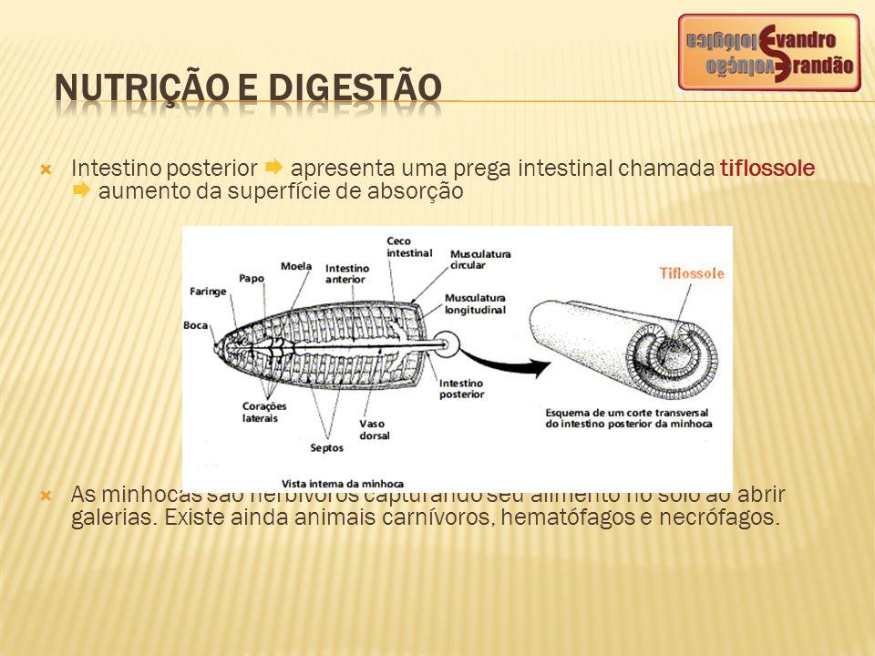 NUTRIÇÃO E DIGESTÃO Intestino posterior  apresenta uma prega intestinal chamada tiflossole  aumento da superfície de absorção.