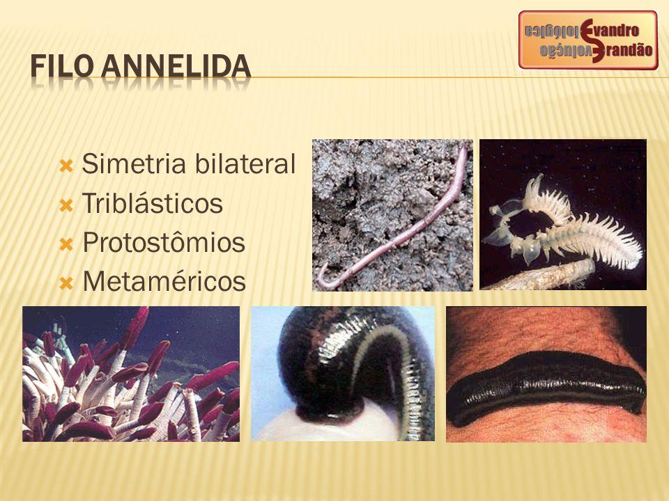 FILO ANNELIDA Simetria bilateral Triblásticos Protostômios Metaméricos