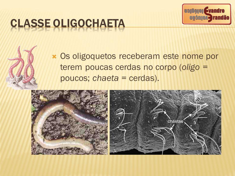 CLASSE OLIGOCHAETA Os oligoquetos receberam este nome por terem poucas cerdas no corpo (oligo = poucos; chaeta = cerdas).