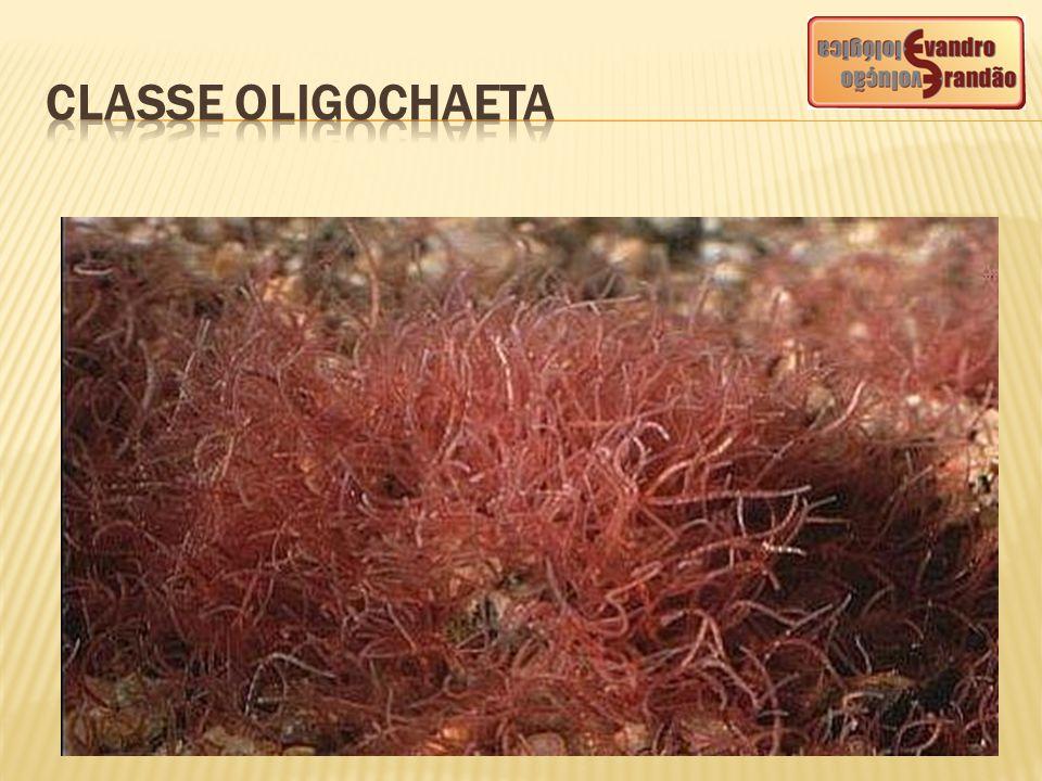 CLASSE OLIGOCHAETA