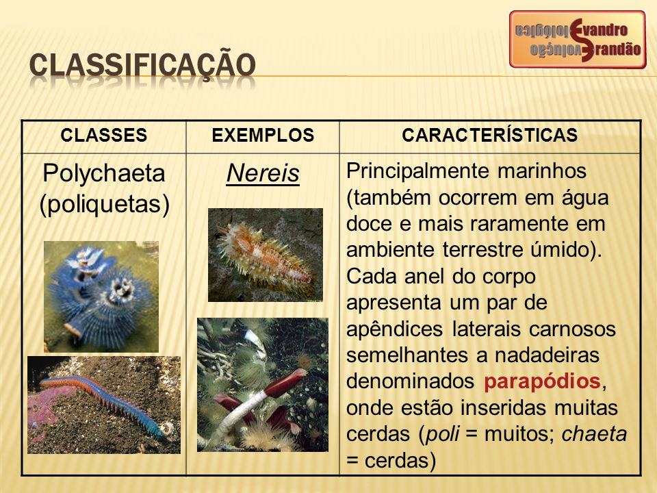 Polychaeta (poliquetas)