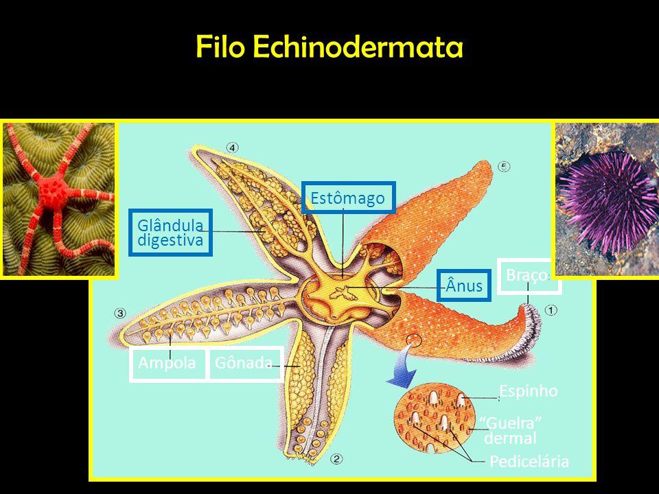 Filo Echinodermata Espinho Guelra dermal Pedicelária Braço Gônada