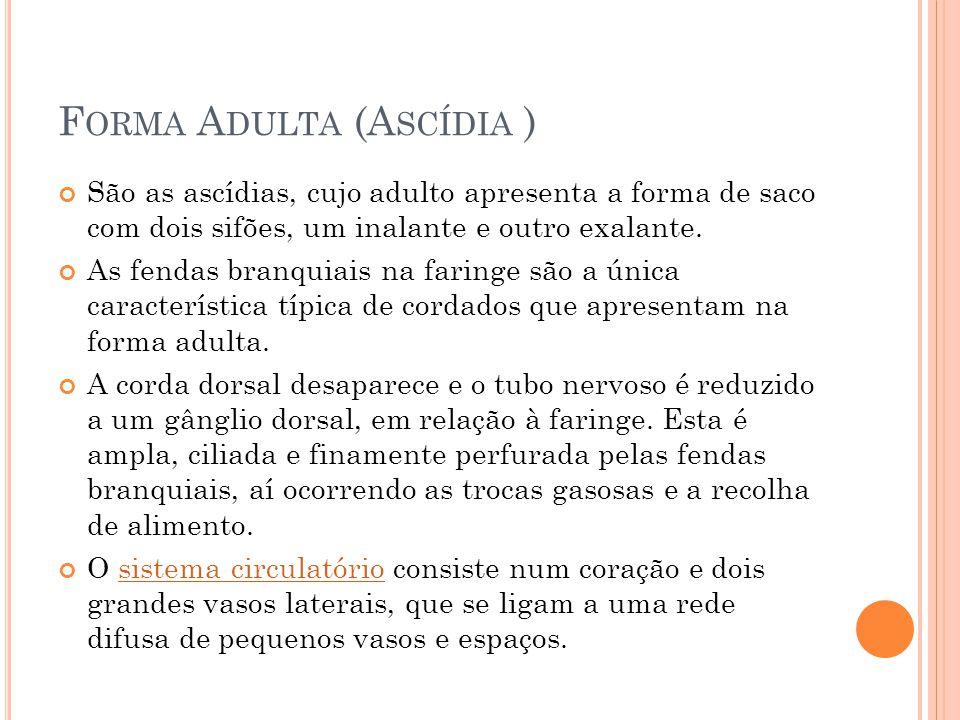 Forma Adulta (Ascídia )