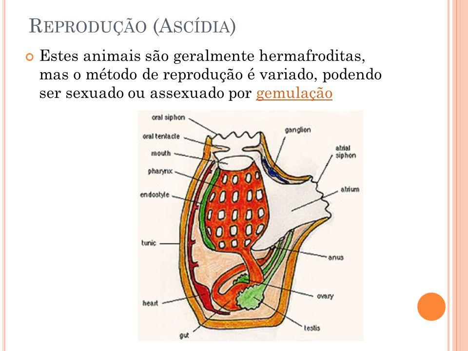 Reprodução (Ascídia)