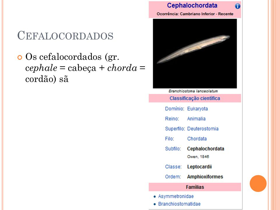 Cefalocordados Os cefalocordados (gr. cephale = cabeça + chorda = cordão) sã