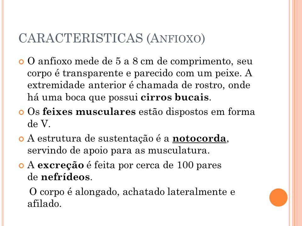 CARACTERISTICAS (Anfioxo)