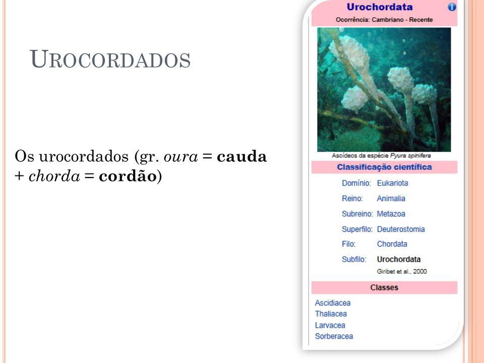 Urocordados Os urocordados (gr. oura = cauda + chorda = cordão)