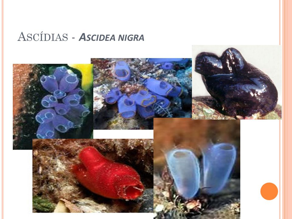 Ascídias - Ascidea nigra