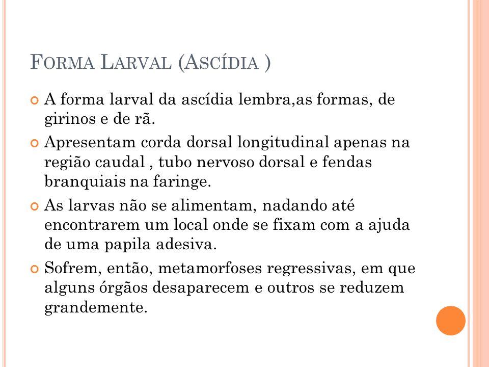 Forma Larval (Ascídia )
