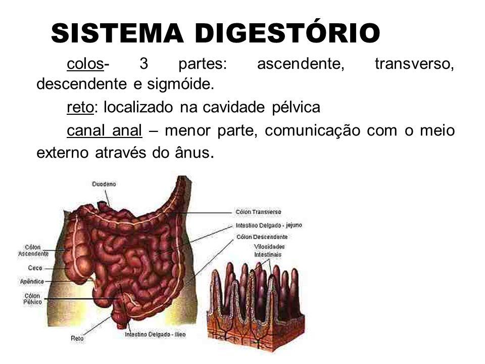 SISTEMA DIGESTÓRIO colos- 3 partes: ascendente, transverso, descendente e sigmóide. reto: localizado na cavidade pélvica.