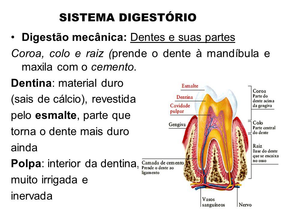 SISTEMA DIGESTÓRIO Digestão mecânica: Dentes e suas partes. Coroa, colo e raiz (prende o dente à mandíbula e maxila com o cemento.