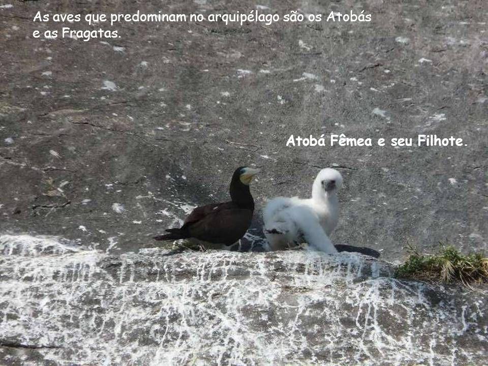 As aves que predominam no arquipélago são os Atobás