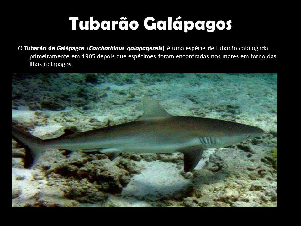 Tubarão Galápagos