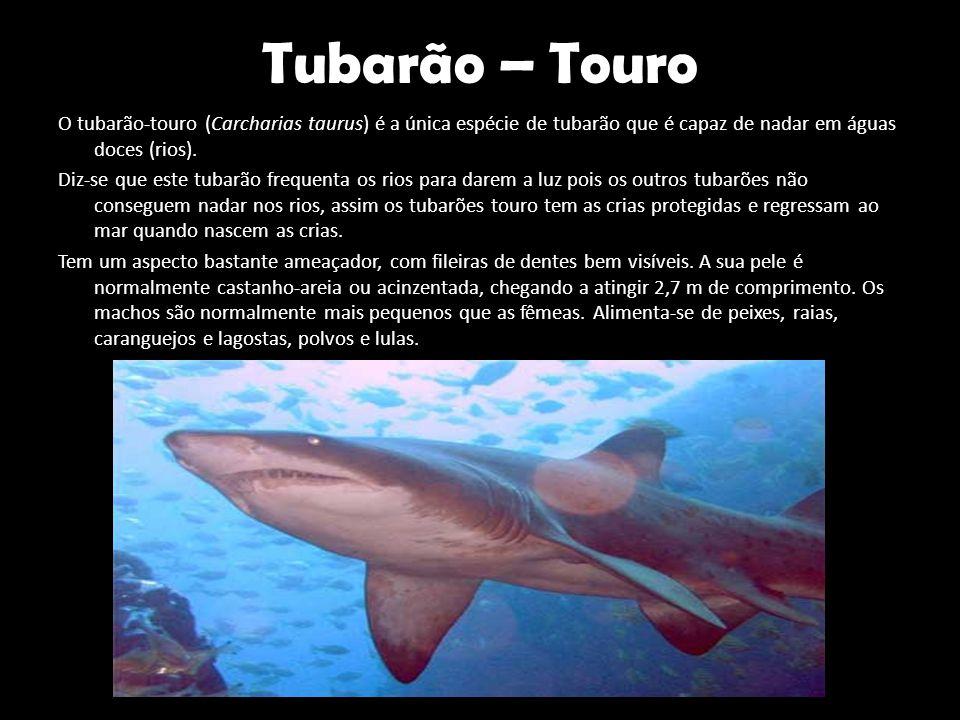 Tubarão – Touro