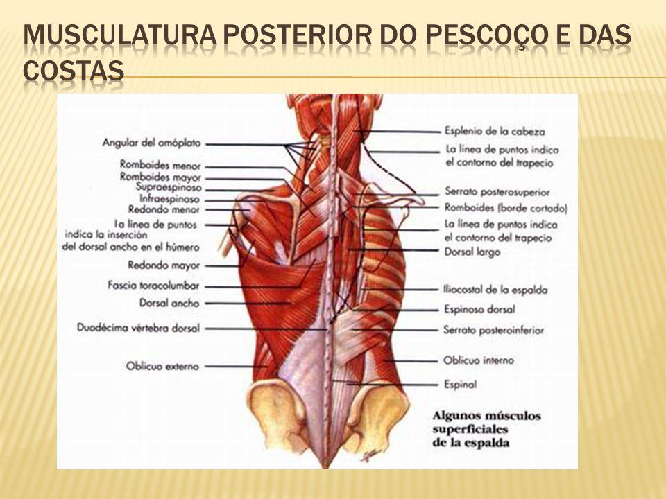 Musculatura posterior do Pescoço e das costas
