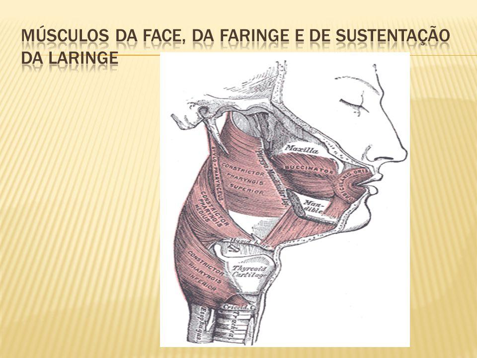 Músculos da face, da faringe e de sustentação da laringe