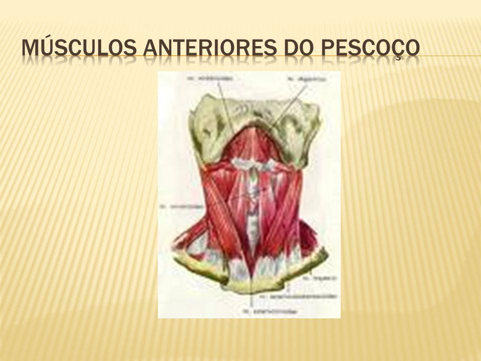 Músculos anteriores do pescoço