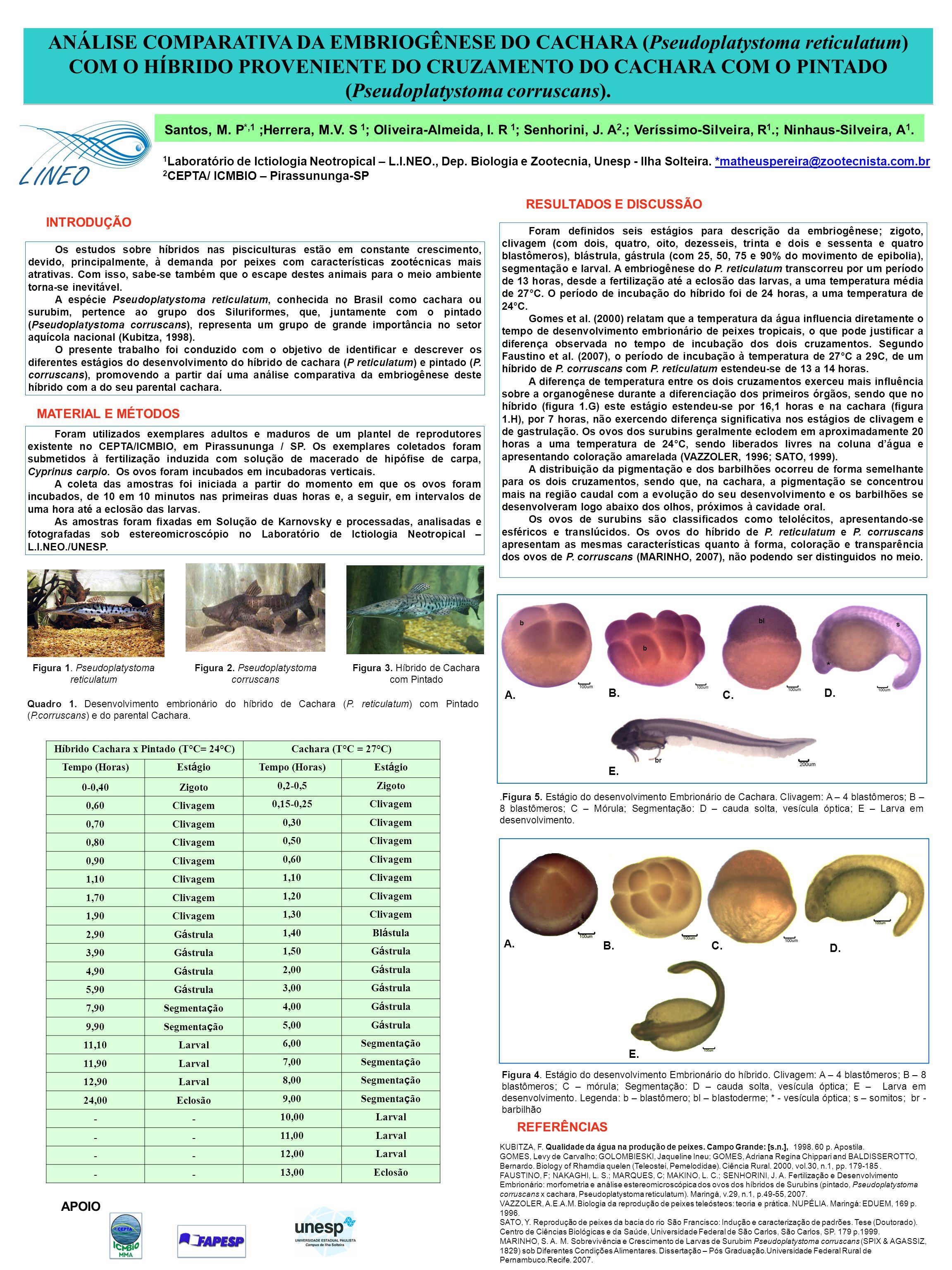 RESULTADOS E DISCUSSÃO Híbrido Cachara x Pintado (T°C= 24°C)