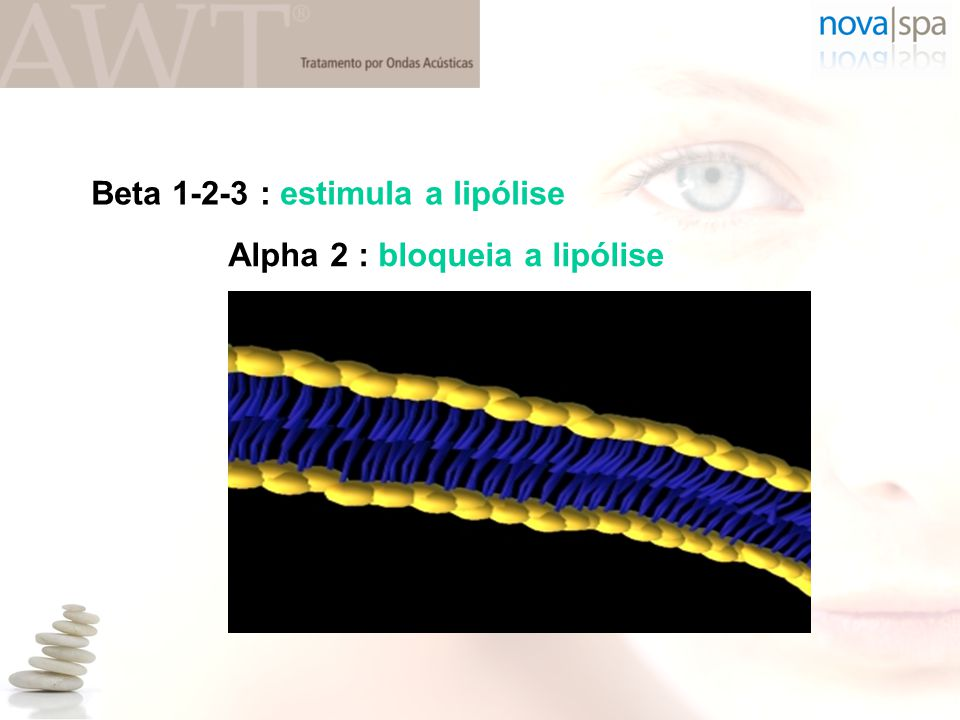 Beta 1-2-3 : estimula a lipólise