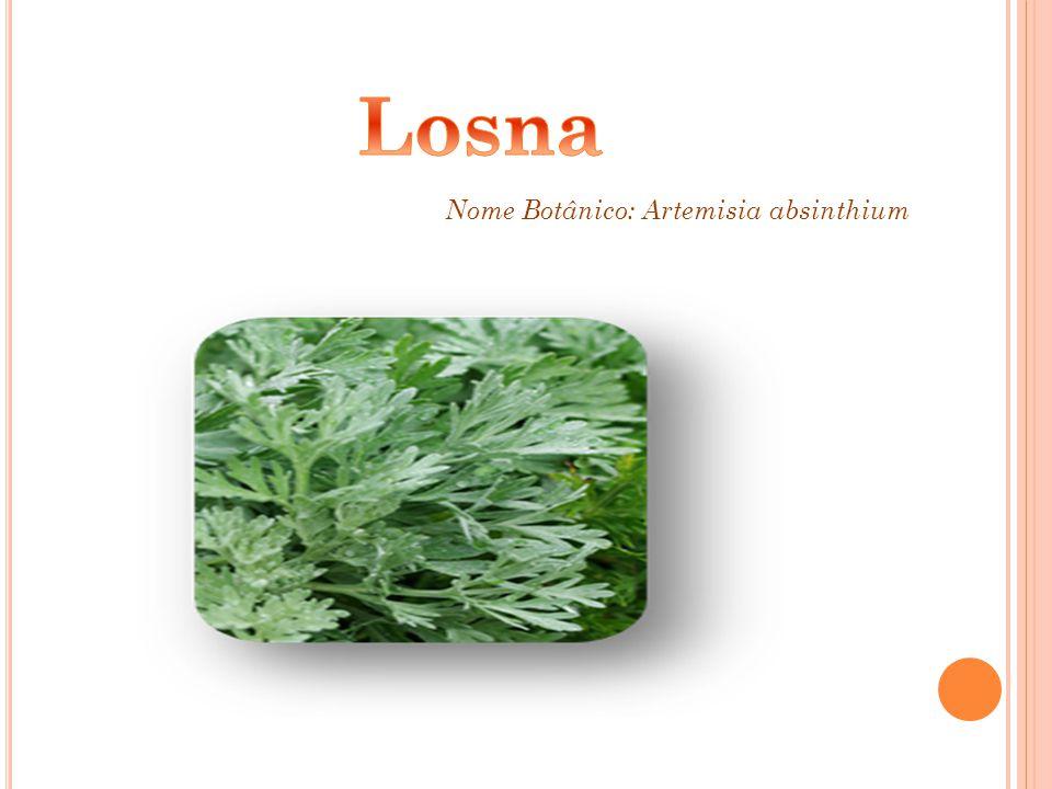 Losna Nome Botânico: Artemisia absinthium