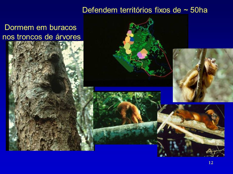 Defendem territórios fixos de ~ 50ha
