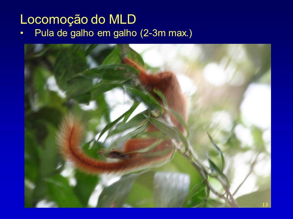 Locomoção do MLD Pula de galho em galho (2-3m max.)