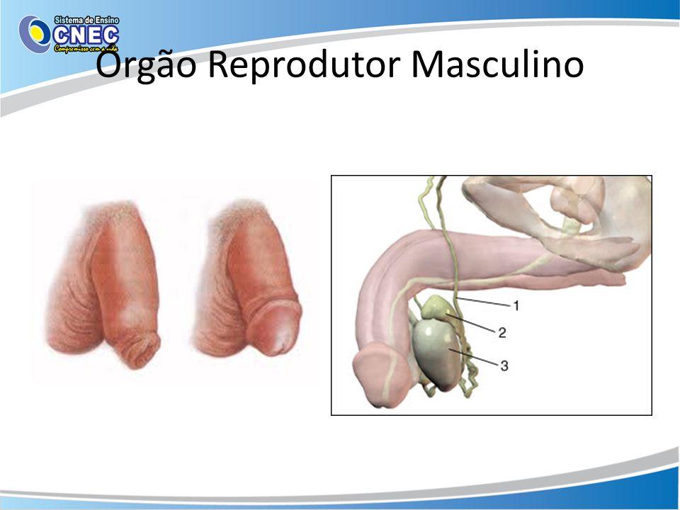 Órgão Reprodutor Masculino