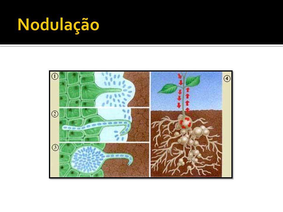 Nodulação