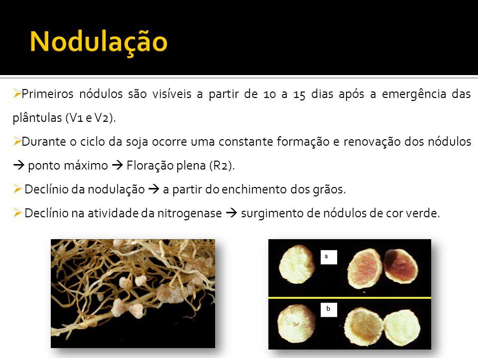 Nodulação Primeiros nódulos são visíveis a partir de 10 a 15 dias após a emergência das plântulas (V1 e V2).