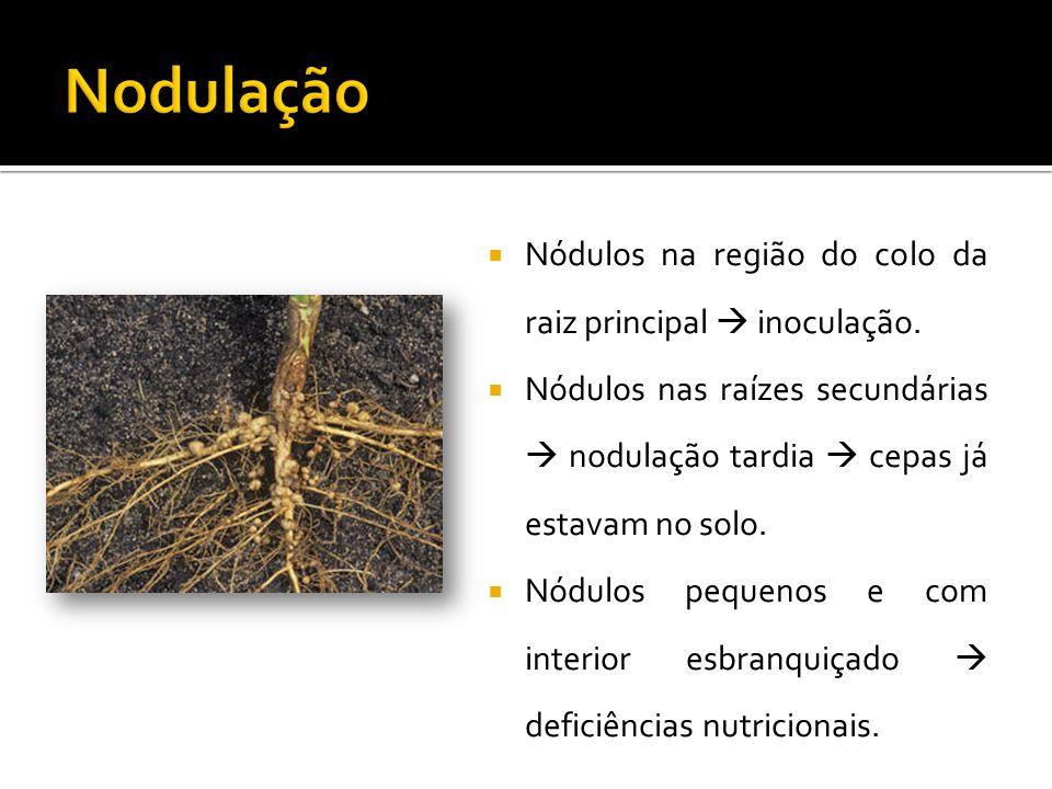 Nodulação Nódulos na região do colo da raiz principal  inoculação.