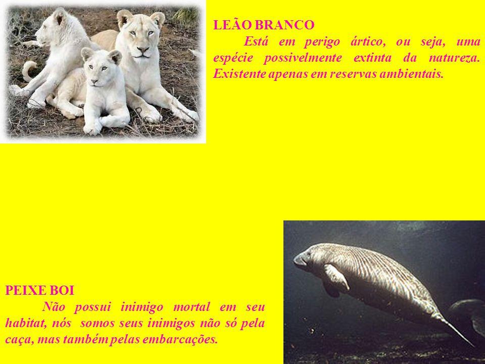 LEÃO BRANCO Está em perigo ártico, ou seja, uma espécie possivelmente extinta da natureza. Existente apenas em reservas ambientais.