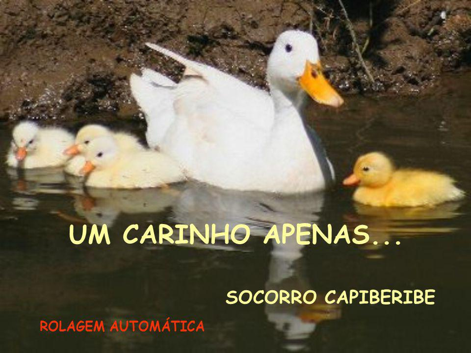 UM CARINHO APENAS... SOCORRO CAPIBERIBE ROLAGEM AUTOMÁTICA