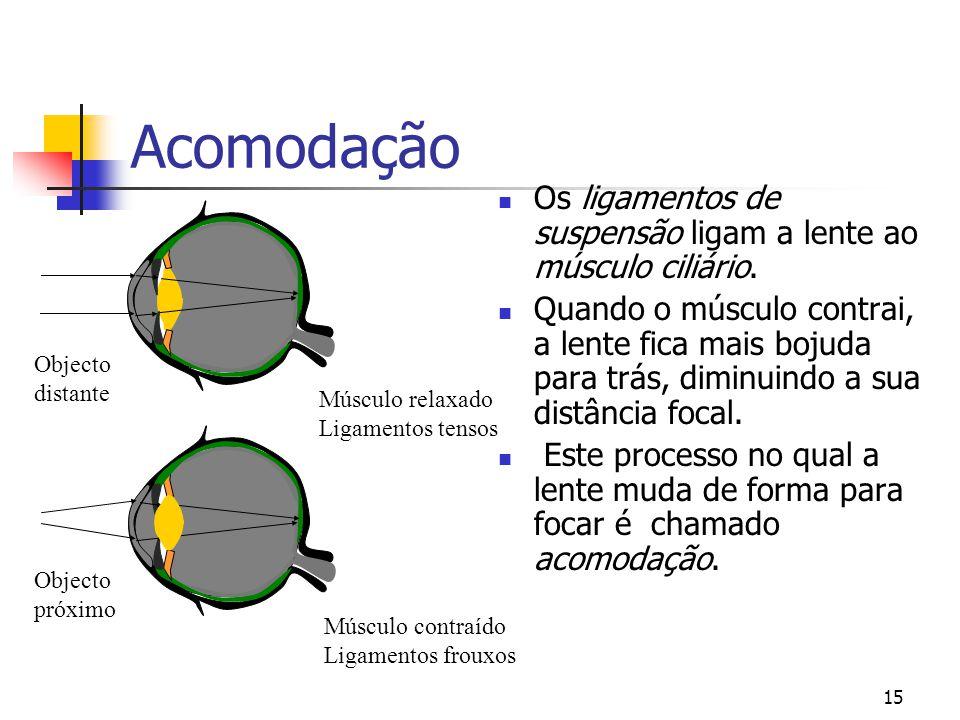 Acomodação Os ligamentos de suspensão ligam a lente ao músculo ciliário.