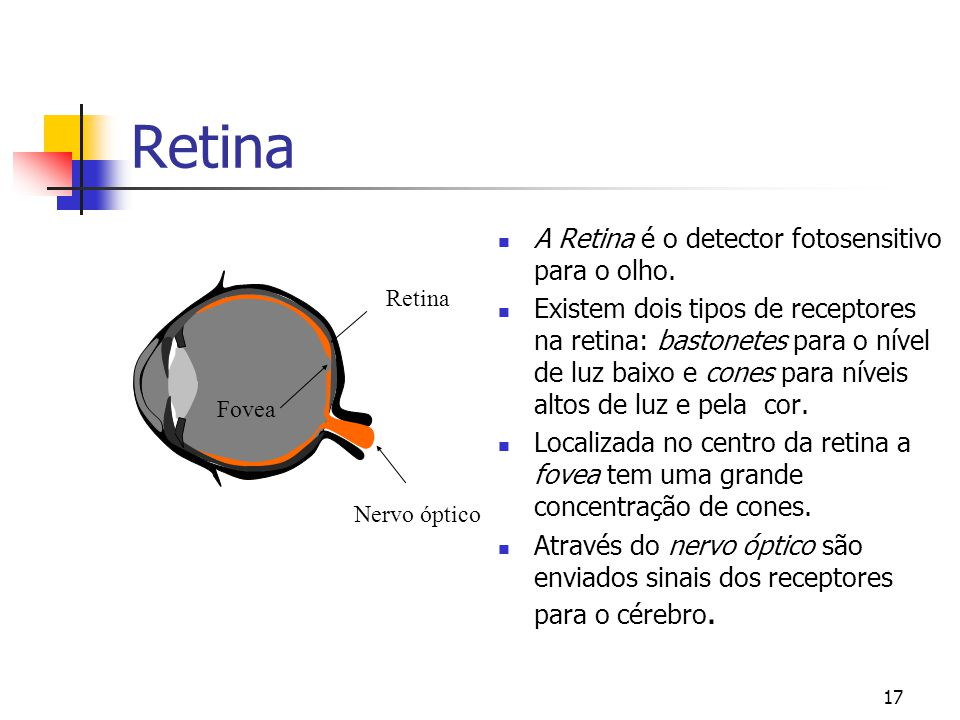 Retina A Retina é o detector fotosensitivo para o olho.