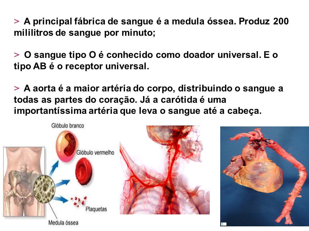 > A principal fábrica de sangue é a medula óssea