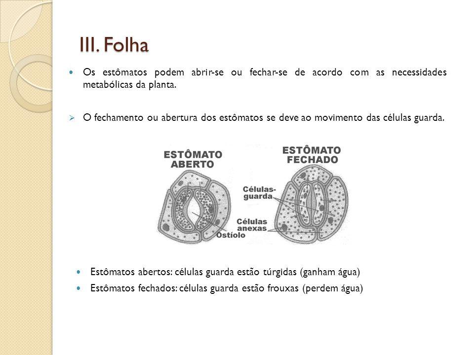 III. Folha Os estômatos podem abrir-se ou fechar-se de acordo com as necessidades metabólicas da planta.