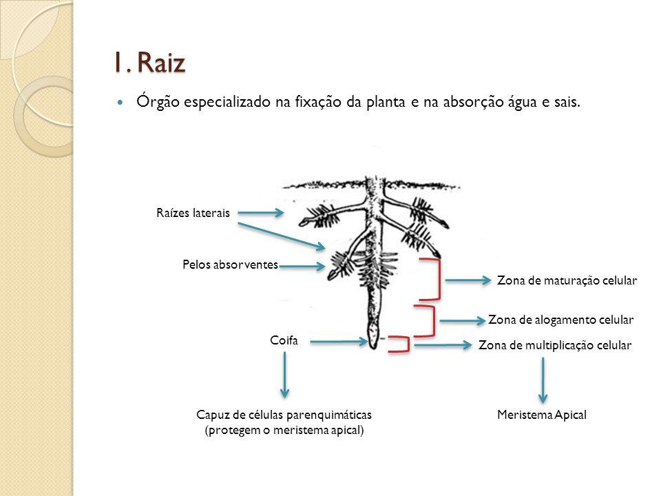 1. Raiz Órgão especializado na fixação da planta e na absorção água e sais. Raízes laterais. Pelos absorventes.