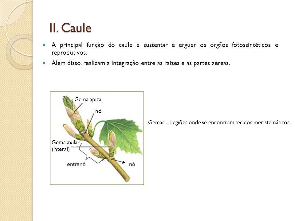 II. Caule A principal função do caule é sustentar e erguer os órgãos fotossintéticos e reprodutivos.
