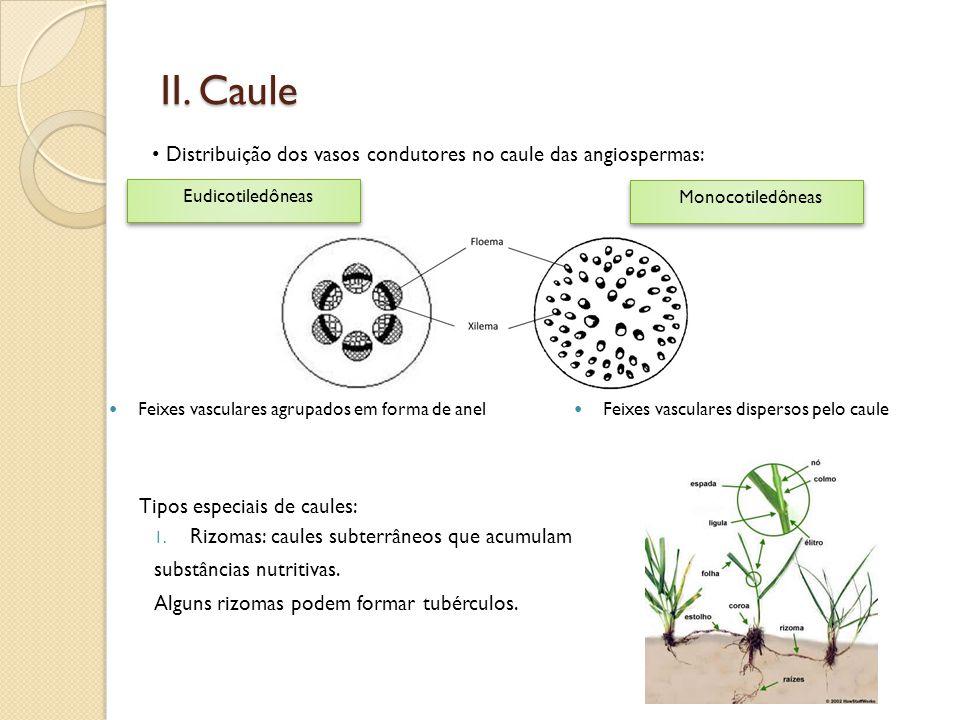 II. Caule Distribuição dos vasos condutores no caule das angiospermas: