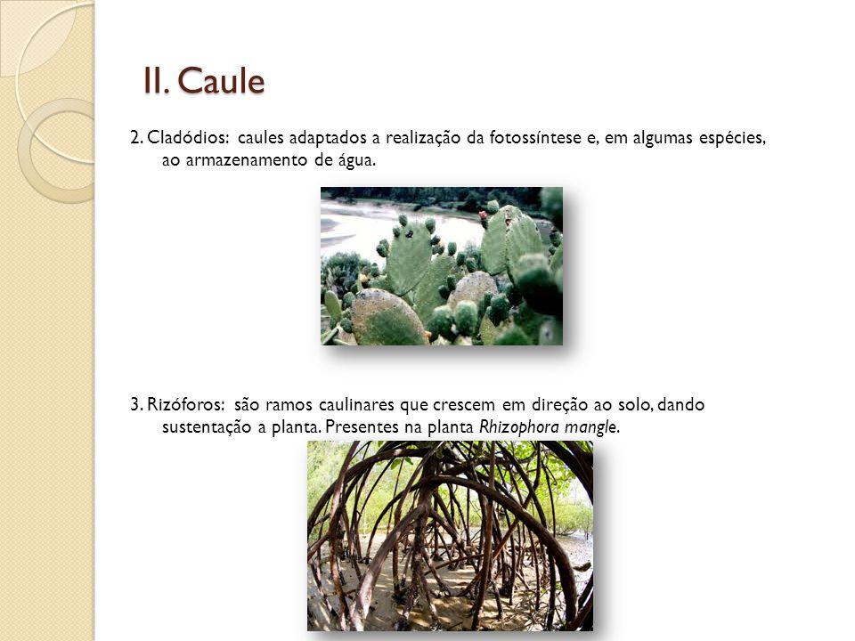 II. Caule 2. Cladódios: caules adaptados a realização da fotossíntese e, em algumas espécies, ao armazenamento de água.