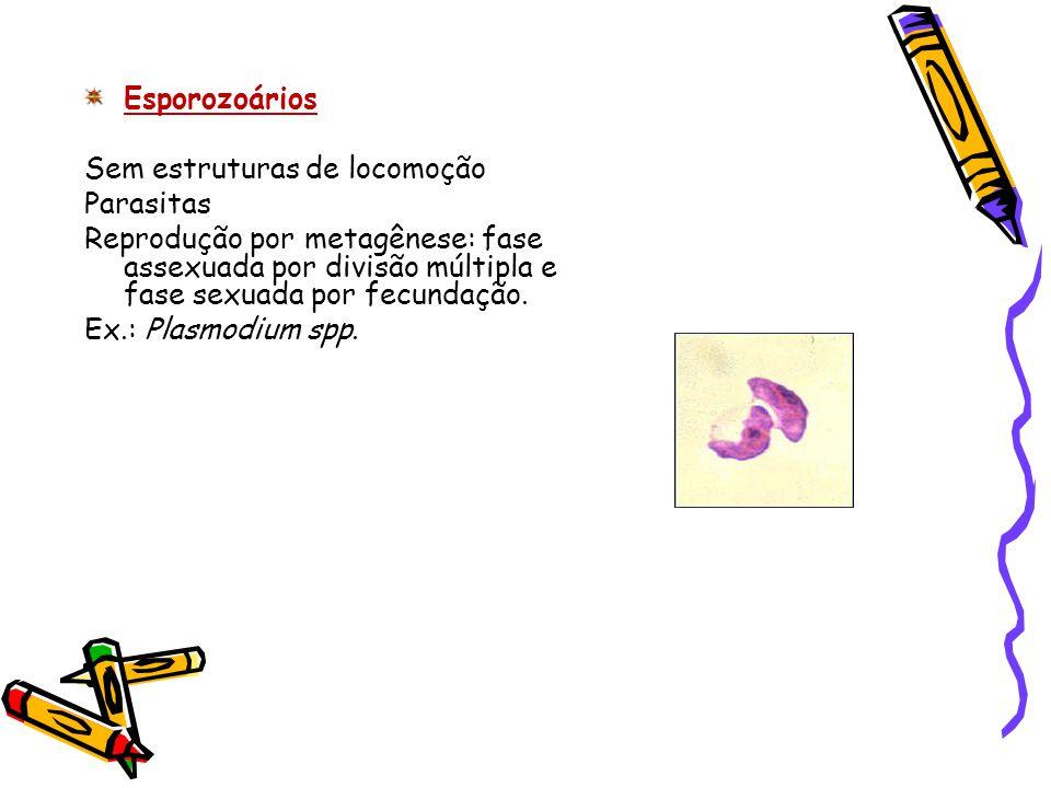 Esporozoários Sem estruturas de locomoção. Parasitas. Reprodução por metagênese: fase assexuada por divisão múltipla e fase sexuada por fecundação.