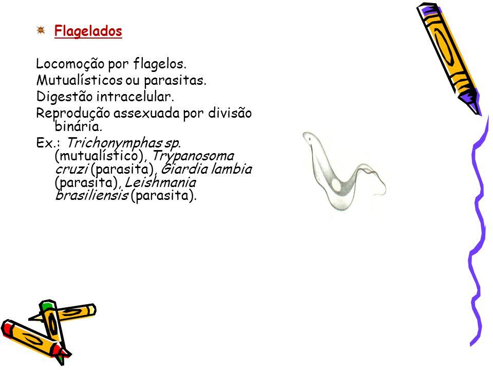 Flagelados Locomoção por flagelos. Mutualísticos ou parasitas. Digestão intracelular. Reprodução assexuada por divisão binária.